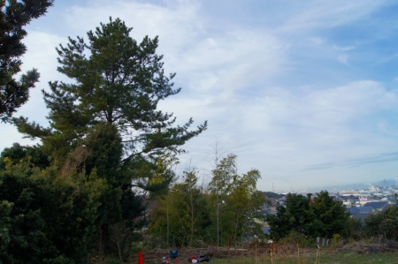 松ノ木伐採作業