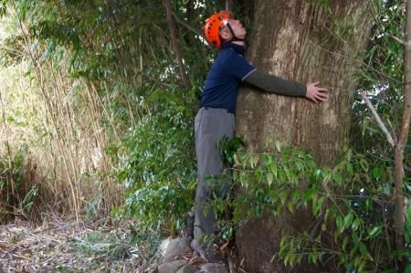 シイ 大木伐採 ソコソコのサイズ