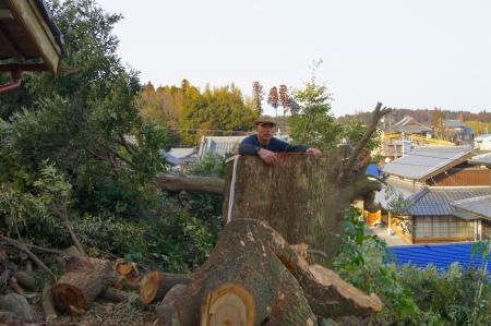 こんな太さのシイの大木でした