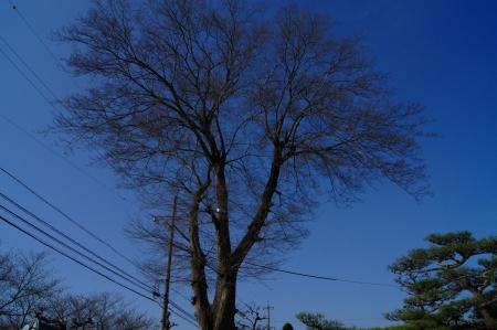 ムクの巨木 圧倒的な威圧感