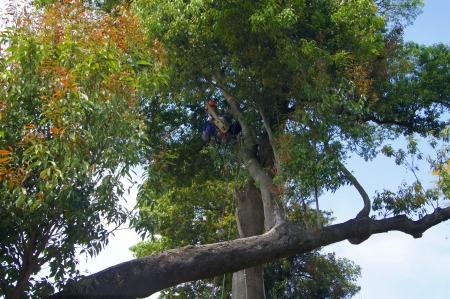 樫の木 掛かり木の伐採作業:一気に離すと怖いかも?