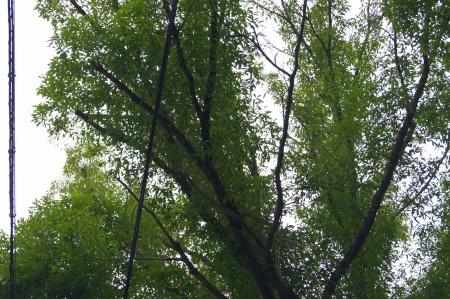 ナラの木 枯れ枝除去作業