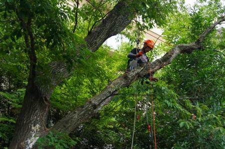 対象木Ⅱ枯れ枝除去 自動車の屋根もベコベコ級