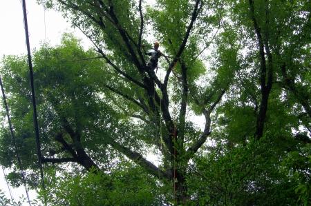 対象木Ⅰ 引っ掛っていた枯れ枝除去