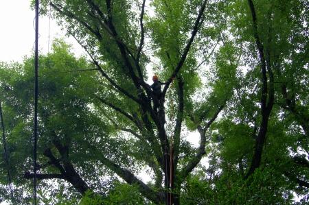 対象木Ⅰ 引っ掛っていた枯れ枝除去終了