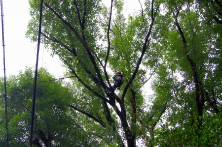 対象木Ⅰ 枯れ枝除去