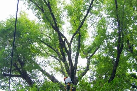 対象木Ⅰ 枯れ枝除去作業終了