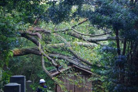 小屋に倒れた風倒木伐採