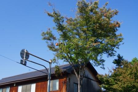 住居の上枝を処理していきます、ケヤキです