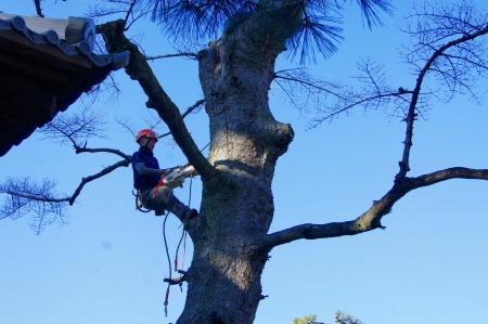 モミの木 しっかり伐ってあげますよ
