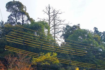 枯れ木 伐採作業