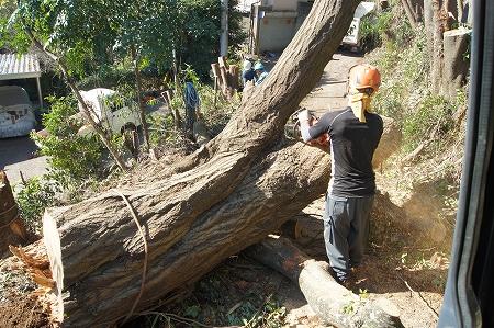 でっかい椎の木130本伐り進みます