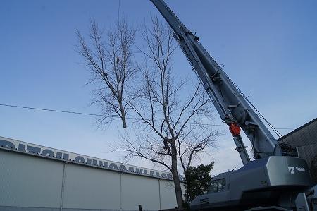 クレーンで大木を吊り切りです。