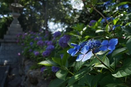 紫陽花の花咲く中の伐採作業っす