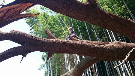 愛知県 桜 緊急倒木伐採作業