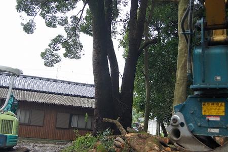 家の脇 狭い場所での大木伐採作業 楠
