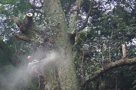傾斜木の幹は伐りにくいのです…