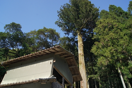 大杉の下枝を切り上げて、終了