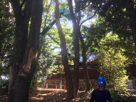 大木、枯れ木伐採作業