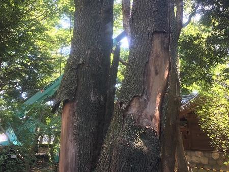 枯れ木の処理はお早めに、もう登れません…