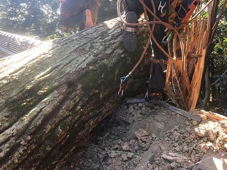 棟に乗ってる処で直径1メートル程の椎の木