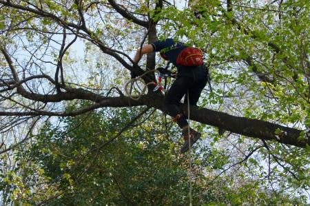 桜伐採クレーン吊り伐り1