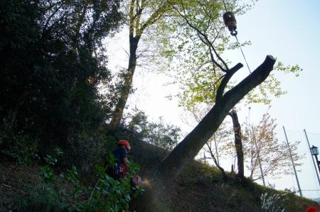 桜伐採クレーン吊り伐り3 元を放しますよ