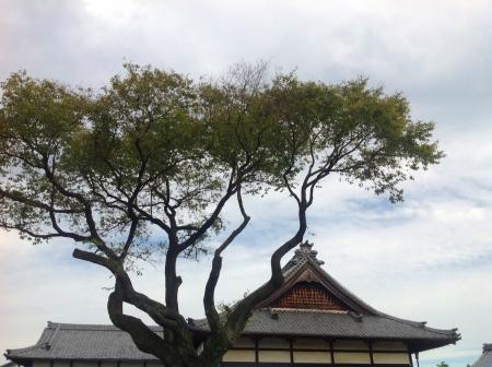龍泉寺 桜 剪定完了